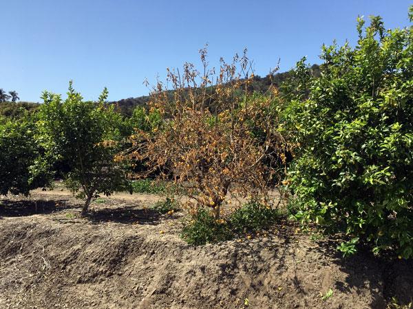 Lotta-insetti-dannosi-alberi-faenza