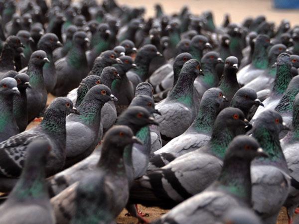 Offerte-disinfestazione-per-scacciare-piccioni-Forli