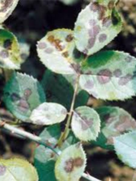 Trattamenti-antiparassitari-piante-Forli-Faenza