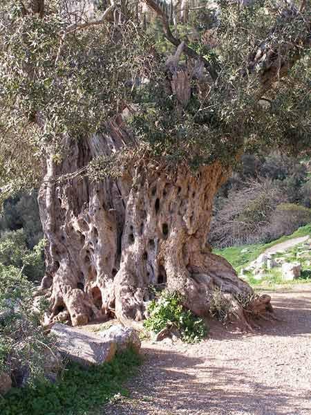 Trattamento-alberi-secolari-Forli-Faenza