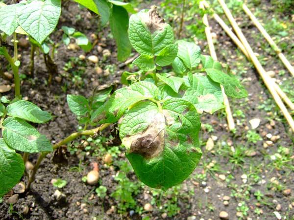 Trattamenti-antiparassitari-alberi-da-frutto-Faenza